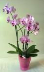 Orchidea /Phalaenopsis/