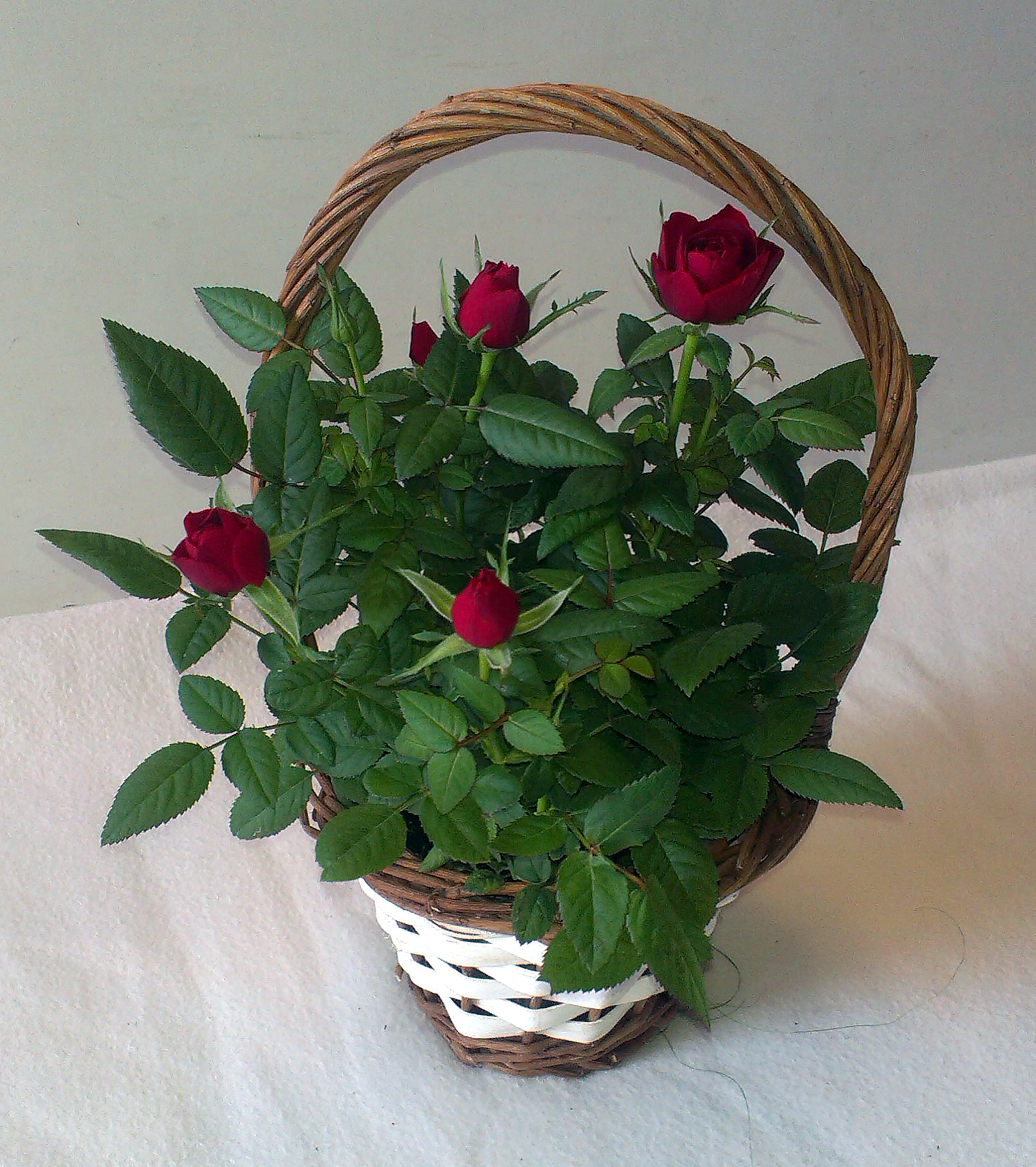 Ruža /Rosa/