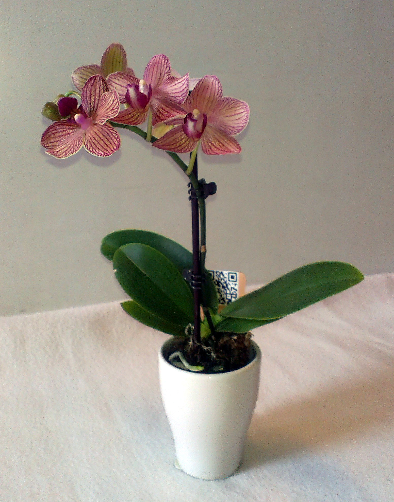 Lišejovec /Phalaenopsis/